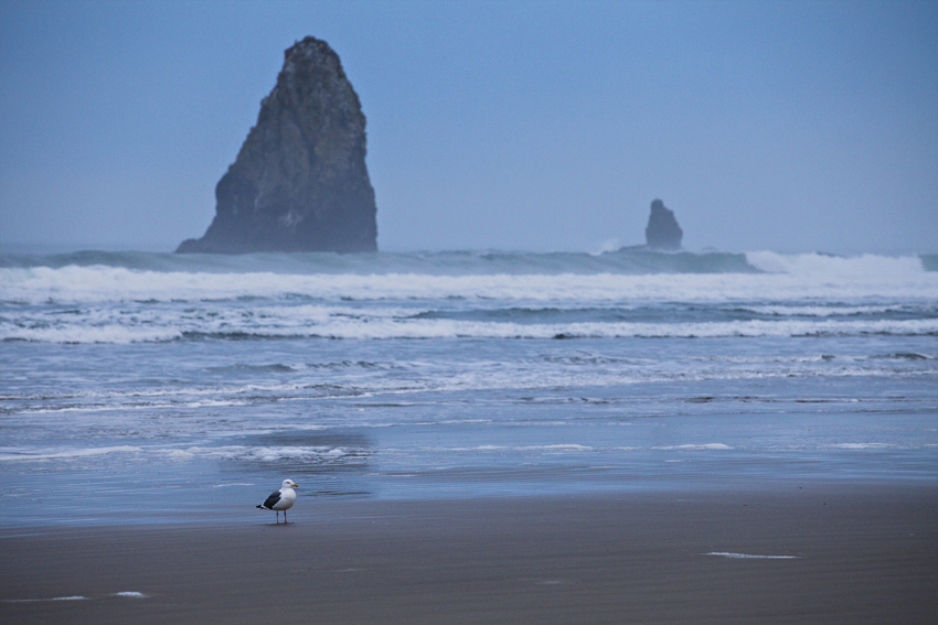 Seagull near Cannon Beach in Oregon © Marni Mattner Photography