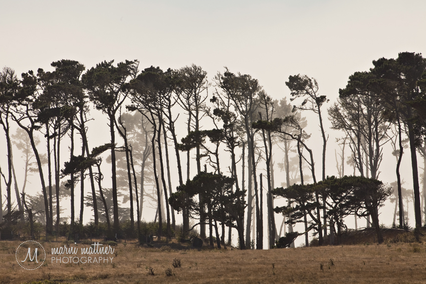 Dr. Seuss Trees on the California Coast South of Carmel  Marni Mattner Photography
