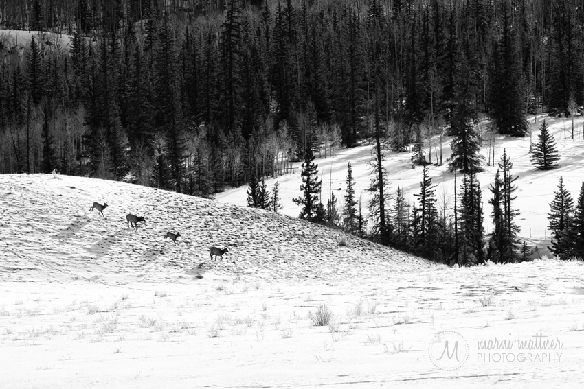 Lake City Elk Running Through The Mountains of Colorado © Marni Mattner Photography