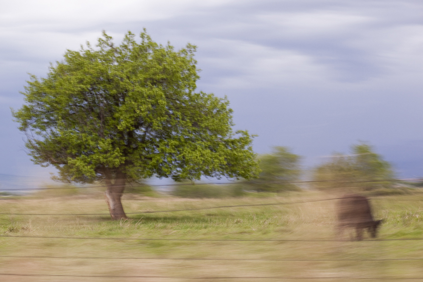 Rifle, Colorado Lone Tree and Cow © Marni Mattner Photography