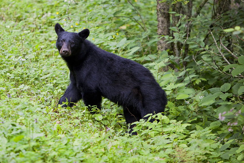 Smoky Mountains Baby Bear © Marni Mattner Photography